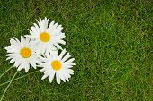 Three chamomile flowers over green grass with copy space