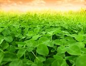 green clover field
