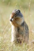 Columbia Ground Squirrel - Banff National Park, Canada