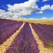 beautiful feelds of blooming lavanda -  Provence, France