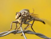 Closeup of a Giant Robber Fly on a wire, with yellow background