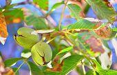 ripe walnut  on a tree