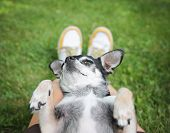 a cute chihuahua sleeping in a person's lap in the grass (focus on the nose - very shallow depth of field)