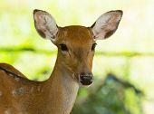 picture of deer head  - Closeup head of a whitetail deer - JPG