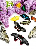 Beautiful butterflies and lilac, isolated on white