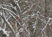 foto of dogwood  - Two brilliantly red cardinal birds perched on snowy dogwood tree branches in winter - JPG