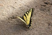 Macro Yellow and black Butterfly on Sand