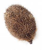 Hedgehog Top View