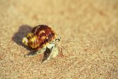 foto of hermit crab  - Tiny hermit crab in its shell crawling on the hot sand - JPG