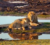 Golden Hour Lion Couple
