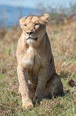 Lioness Sitting