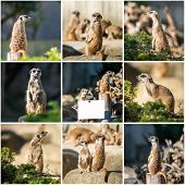 picture of meerkats  - Set photos of a family of meerkats  on a warm autumn evening - JPG