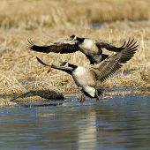 Geese About To Land.