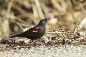 Profile Of Red Winged Blackbird.