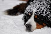 Bernese mt dog in snow