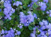 Beautiful Bluish Violet Ageratum In The Flower Bed