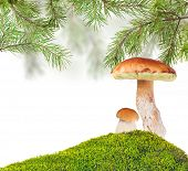 two penny buns under pine in green moss isolated on white background
