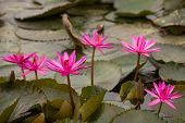 Pink Color Fresh Lotus Flower Blossom
