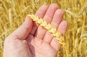 golden harvest in farmers hand over field