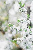 Fruit tree spring flowers background