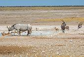 Black Rhino, Gemsbok Oryx & springbok