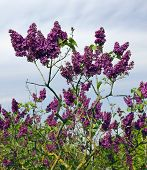 stock photo of lilac bush  - The old bush of a spring lilac waits for a thunder - JPG