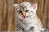 image of scottish-fold  - Small Scottish fold kitten the age of 1 month