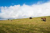 Sheep Grazing On A Dike