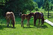 image of bay horse  - Bay horses with foal grazes on the green mountains meadow - JPG