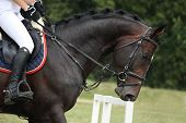 picture of girth  - Black horse portrait during competition in summer