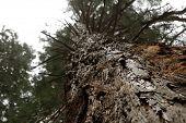 Layered bark of a pine tree