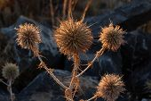Dried Thistle In Autumn