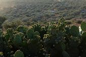 picture of nopal  - Cactus Nopal with mountains at Greece green