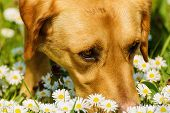 Dog Smelling Flowers