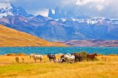 Beautiful thoroughbred horse grazing in a meadow near the lake. On the horizon, towering cliffs Torres del Paine