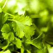 stock photo of chinese parsley  - A closeup of a coriander leaf  - JPG