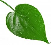 One green leaf shape heart  with water drops close up isolated on white background