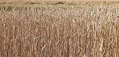 Backgrounds Of Mature Wheat Ears