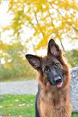 foto of shepherd dog  - Long haired German Shepherd dog sitting at the park - JPG