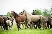 Akhal-teke Horses Herd Runs Free