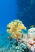 coral reef with great yellow soft coral at the bottom of tropical sea