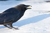 Carrion Crow in bright snow with food in bill Side view