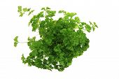 Fresh Parsley Leaves - Green Herbs