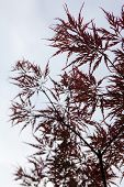Pink Leaves On The Branches Of The Japanese Maple