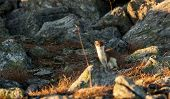 Wild least weasel on the lokkout