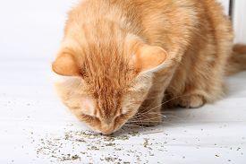 stock photo of catnip  - Orange cat eating catnip a favorite treat of felines  - JPG