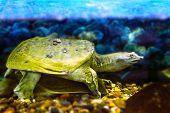 image of turtle shell  - Image of freshwater exotic Chinese softshell turtle - JPG