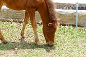 foto of pony  - brown pony is eating grass in the farm - JPG