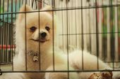 picture of caged  - Pomeranian puppy in a cage at the park - JPG