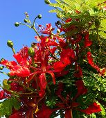 stock photo of angiosperms  - Blooming branch of flame tree against blue sky. ** Note: Visible grain at 100%, best at smaller sizes - JPG